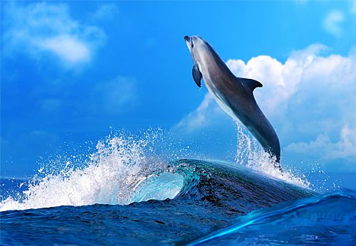 Whale & Dolphin Images For Canvas - Dancing Dolphin