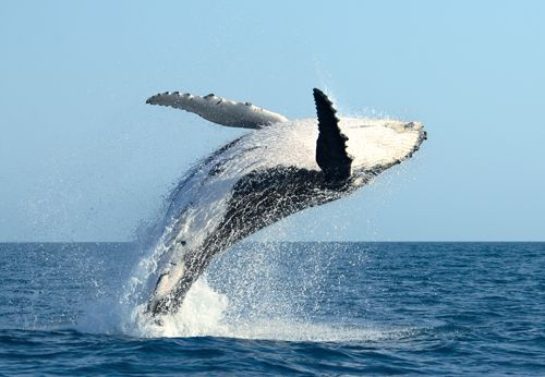 Whale & Dolphin Images For Canvas - Hump Back Breaching Whale